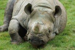 Eastern Black Rhinoceros - Diceros bicornis michaeli Stock Images