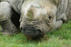 Eastern Black Rhinoceros - Diceros bicornis michaeli Royalty Free Stock Images