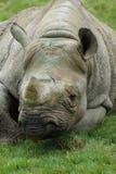 Eastern Black Rhinoceros - Diceros bicornis michaeli Stock Photography