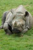 Eastern Black Rhinoceros - Diceros bicornis michaeli Royalty Free Stock Photography