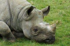 Eastern Black Rhinoceros - Diceros bicornis michaeli Stock Image
