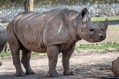 Eastern black rhinoceros stock image