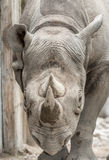 Eastern black rhinoceros (Diceros bicornis michaeli) Stock Photo