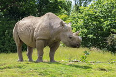 Eastern Black Rhinoceros. Standing in a field Royalty Free Stock Photography