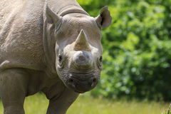 Eastern Black Rhinoceros Stock Photos