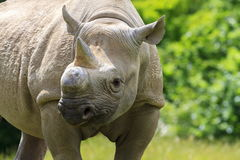 Eastern Black Rhinoceros Stock Image