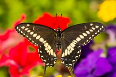 Eastern Black Swallowtail Butterfly. A close up of a newly emerged Eastern Black Swallowtail Butterfly in New England stock photography