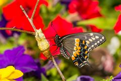 Eastern Black Swallowtail Butterfly. A close up of a newly emerged Eastern Black Swallowtail Butterfly in New England stock image