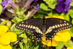 Eastern Black Swallowtail Butterfly. A close up of a newly emerged Eastern Black Swallowtail Butterfly in New England royalty free stock images