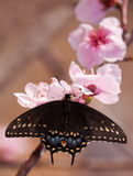 Eastern Black Swallowtail butterfly feeding on a peach blossom Stock Photo