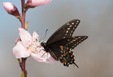 Eastern Black Swallowtail butterfly feeding on a peach blossom Stock Photo