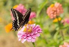 Eastern Black Swallowtail butterfly Stock Image