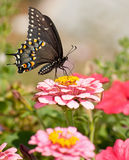 Eastern Black Swallowtail butterfly in garden Stock Photos