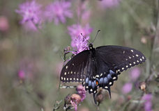 Eastern Black Swallowtail with Copyspace Stock Image