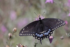 Eastern Black Swallowtail Dorsal View Royalty Free Stock Photos