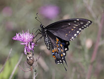 Eastern Black Swallowtail Ventral View Royalty Free Stock Photos