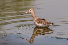 Eastern Black-tailed Godwit Stock Photography