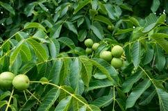 Eastern Black Walnuts stock photos