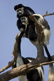 Eastern Black-and-white Colobus Royalty Free Stock Images