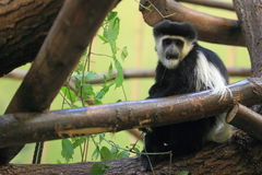 Eastern black-and-white colobus Royalty Free Stock Photography