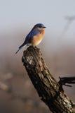 Eastern Blue Bird. On branch at sunset Stock Photos
