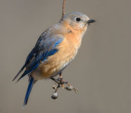 Eastern Blue Bird Perched Royalty Free Stock Photography