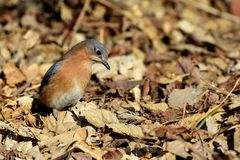 Sialia sialis. An eastern blue bird searching the fallen leaves for seeds and other edible items Stock Image