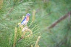 Eastern blue bird in the wild in south carolina royalty free stock photo