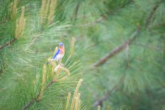 Eastern blue bird in the wild in south carolina royalty free stock image