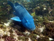 Eastern Blue Groper Stock Photos