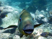 Eastern Blue Groper Stock Images