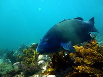 Eastern Blue Groper Royalty Free Stock Image