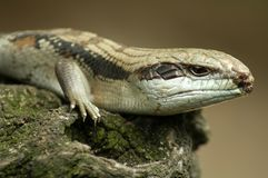 Eastern blue-tongued lizard Royalty Free Stock Photos