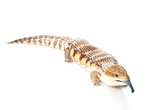 Eastern Blue-tongued Skink Royalty Free Stock Photo