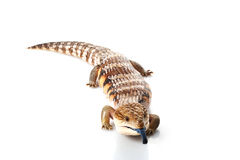 Eastern Blue-tongued Skink Royalty Free Stock Images