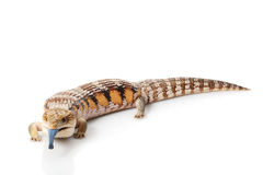 Eastern Blue-tongued Skink Royalty Free Stock Photos