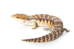 Eastern Blue-tongued Skink Stock Images
