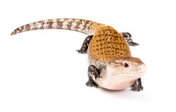 Eastern blue-tongued skink Stock Image