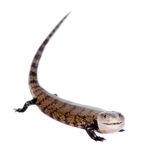 Eastern Blue-tongued Skink on white Stock Photos