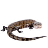 Eastern Blue-tongued Skink on white Royalty Free Stock Photography