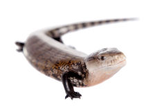 Eastern Blue-tongued Skink on white Royalty Free Stock Photo