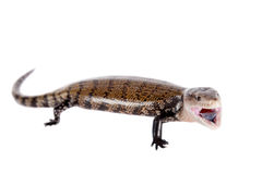 Eastern Blue-tongued Skink on white. Eastern Blue-tongued Skink, Tiliqua scincoides, isolated on white background stock images