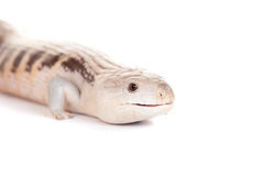 Eastern Blue-tongued Skink on white Stock Images