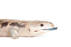 Eastern Blue-tongued Skink on white. Eastern Blue-tongued Skink, Tiliqua scincoides scincoides, isolated on white background royalty free stock photo