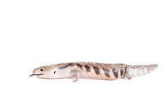 Eastern Blue-tongued Skink on white. Eastern Blue-tongued Skink, Tiliqua scincoides scincoides, isolated on white background stock photos