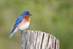 Eastern Bluebird. Male Eastern Bluebird against a blurred background Royalty Free Stock Image