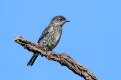 Eastern Bluebird Royalty Free Stock Photo