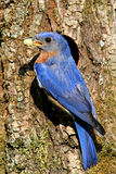 Eastern Bluebird Stock Photo