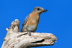 Eastern Bluebird Stock Photos