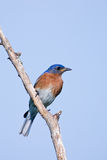 Eastern Bluebird. Adult Male Eastern Bluebird Perched on Branch Royalty Free Stock Photography